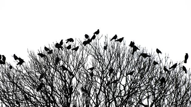 crows-in-trees